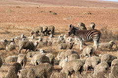 Zebra and flock. A plains zebra acting as a shepherd to a flock of sheep Stock Photography