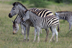 Zebra. Flock in the Nxai Pan Nationalpark in Botsuana Stock Photos