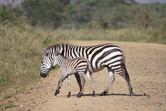 Zebra With Foal Stock Images