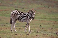 Free Zebra Foal Stock Images - 14640364