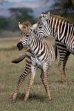 Zebra Foal Stock Images