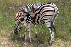 Zebra and foal. Zebra mare grazing with her new-born foal next to her stock photography