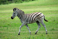 Zebra foal. A beautiful little African Burchell Zebra foal walking in the green grass in a game park in South Africa Stock Image