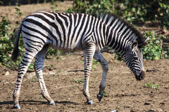 Free Zebra Foal Stock Photo - 43707100