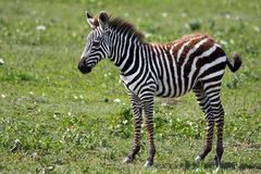 Zebra Foal. Baby zebra in Serengeti National Park, Tanzania Stock Images