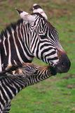 Zebra with foal Royalty Free Stock Image