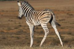 Zebra Foal. Uneasy on its legs Royalty Free Stock Photography
