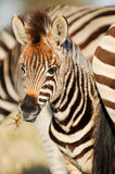 Zebra foal Stock Photography