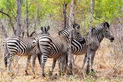 Zebra foal in african tree bush. Royalty Free Stock Photos