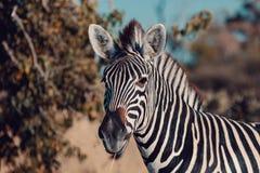 Zebra Foal Botswana Africa Wildlife Safari Stock Photo