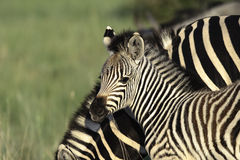 Zebra Foal. Burchells Zebra Foal in golden light Royalty Free Stock Photography