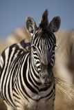 Zebra foal chewing grass, Namibia Stock Image