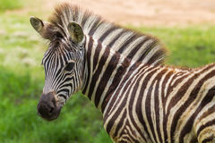 Free Zebra Foal Colt Summer Royalty Free Stock Photo - 28614125