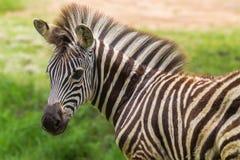 Zebra Foal Colt Summer Royalty Free Stock Photo