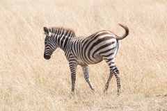 Zebra foal crosses savannah flicking its tail Royalty Free Stock Photos