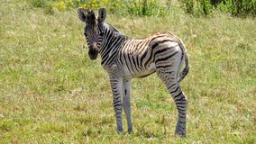 Zebra foal discovering the world Stock Image