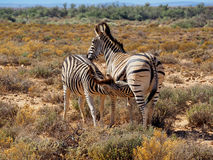 A zebra foal drinking from his mother Royalty Free Stock Photo
