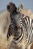 Zebra foal eating grass Stock Image