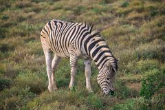 Zebra foal eating grass in Addo National Park stock photography
