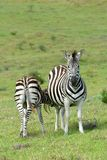Zebra foal feeding in the wild Stock Photography
