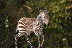 Zebra Foal stock photos
