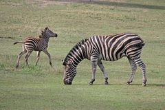 Zebra with foal grazing in the meadow Royalty Free Stock Image