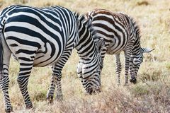Zebra with foal grazing, Zebra with baby, young zebra with soft fur in Serengeti, Tanzania Royalty Free Stock Images