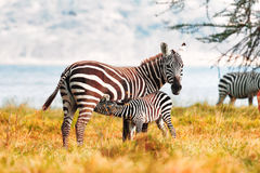 Zebra and Foal Royalty Free Stock Photos