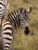 Zebra foal looking back at viewer Royalty Free Stock Photos