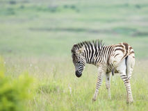 Zebra foal looking back Royalty Free Stock Image