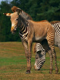 Zebra foal with mare Royalty Free Stock Photos