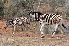 Zebra Foal and Mare Stock Images