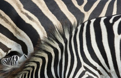 Zebra foal and mare close up Stock Photography