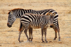 Zebra Foal and Mother Royalty Free Stock Images