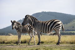 Zebra and foal Royalty Free Stock Images