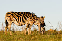 Zebra foal and mother. Zebra foal showing teeth and eating grass Royalty Free Stock Photos