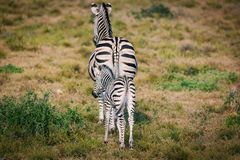 Zebra foal and mother walking together in Addo National park stock photo