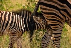 Zebra foal nursing stock images