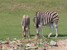 Zebra with foal on pasture Stock Photos