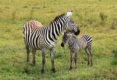 Zebra with Foal Stock Image