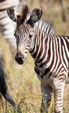 Zebra foal portrait Royalty Free Stock Images