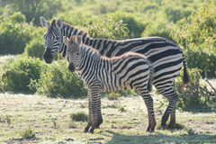 Zebra foal in profile standing beside mother Stock Photography