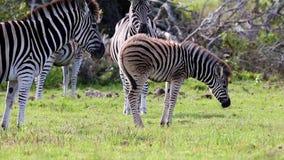 Zebra Foal Resting stock video footage