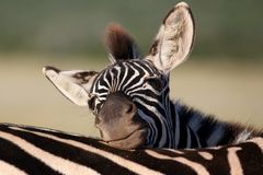 Zebra Foal Resting Stock Photo