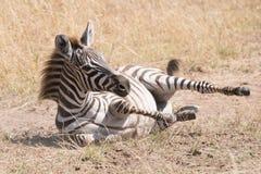 Zebra foal rolls in dust on savannah Royalty Free Stock Photo