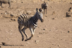 Zebra foal running away from danger to mom Royalty Free Stock Photos