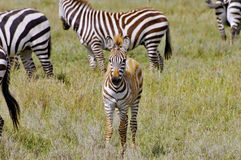 Zebra foal on the Serengeti plains, Tanzania Royalty Free Stock Images