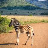 Zebra foal Stock Photography