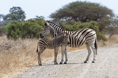 Zebra With Foal Standing Stock Images
