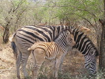 Zebra and Foal Stock Photos